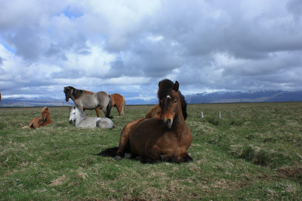 horses in Iceland, hestar, íslenski hesturinn, Icelandic horse